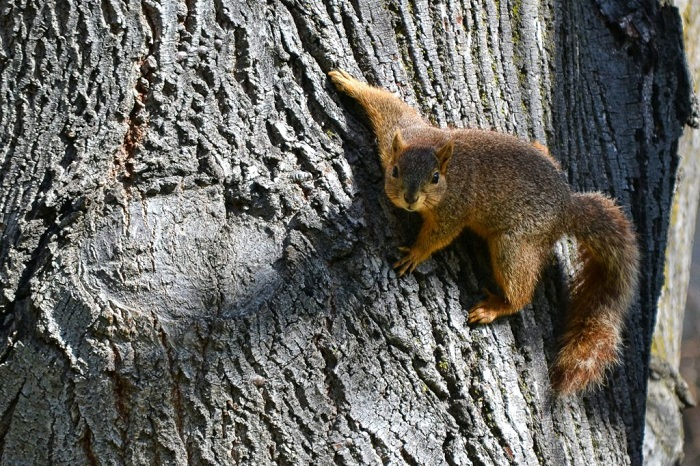red squirrel fat